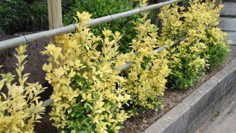 黄金マサキ生垣 緑化センターのサムネイル