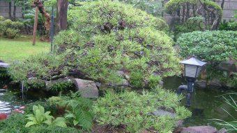 松の木の剪定 緑化センターのサムネイル
