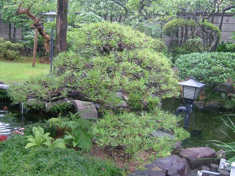 (株)緑化センターではお庭の松の木の手入れもできます♪